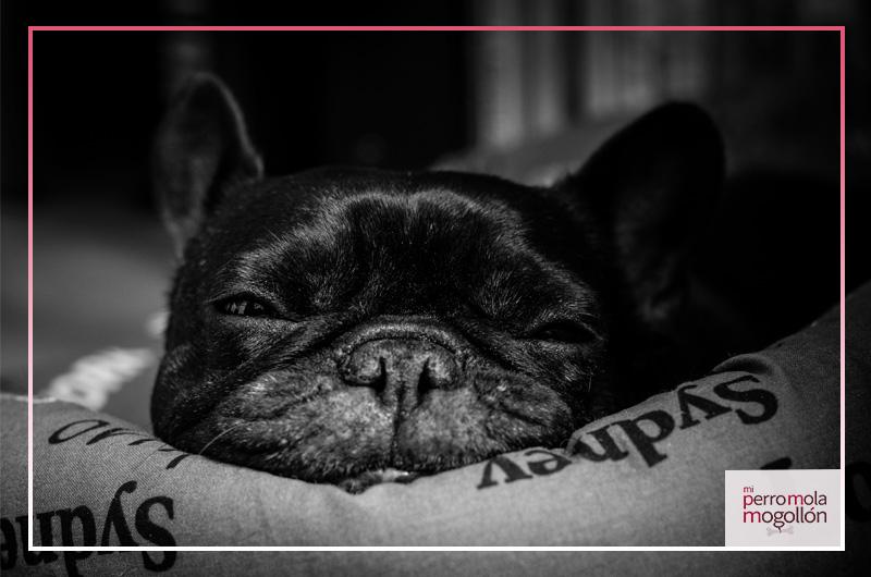 Bulldog Franc茅s durmiendo