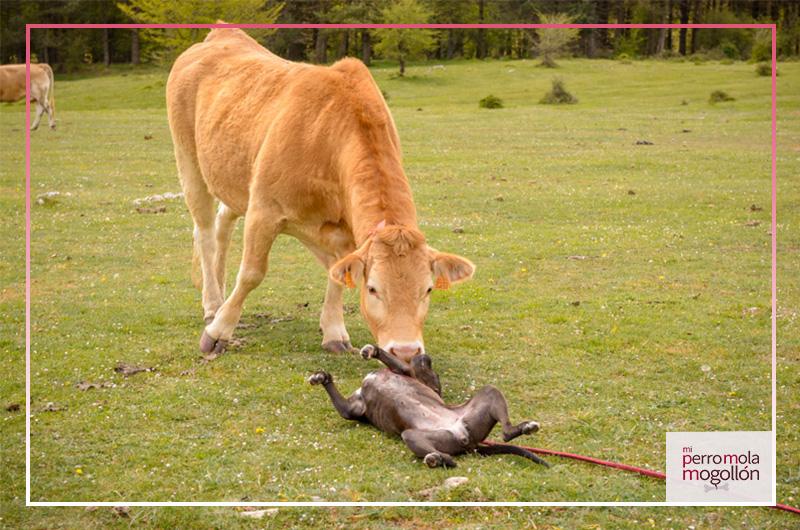 Pitbull jugando con una vaca