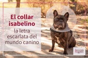 El collar isabelino para perros: la letra escarlata del mundo canino
